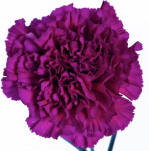 Carn - Golem (Dark Pink)