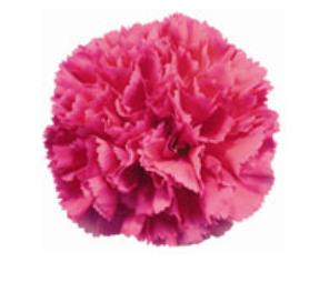 Carnation - Bizet (Dark Pink)