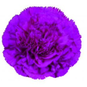 Carnation - Cosmic