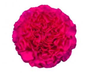 Carnation - Dejavu (Dark Pink)
