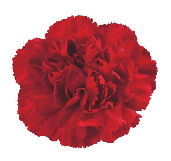 Carnation - Equinox