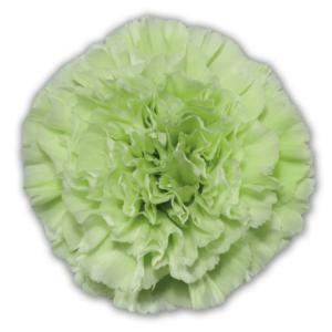 Carnation - Galica
