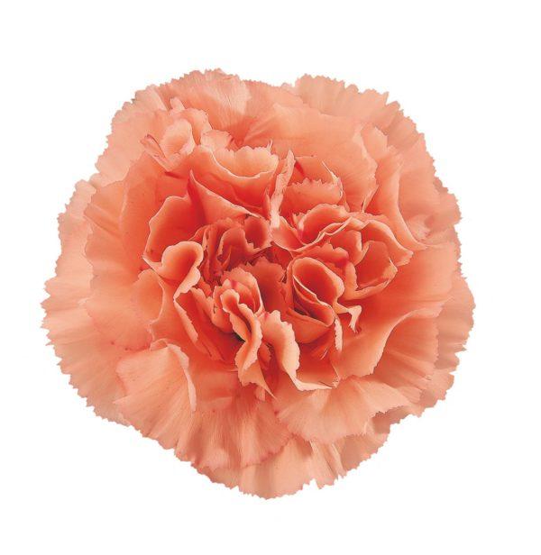 Carnation - Gobi