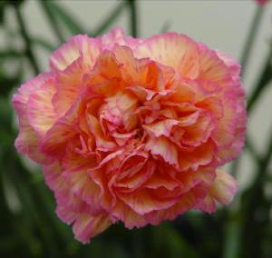 Carnation - Havana (Bi-color)