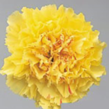 Carnation - Hermes