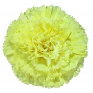 Carnation - Inti