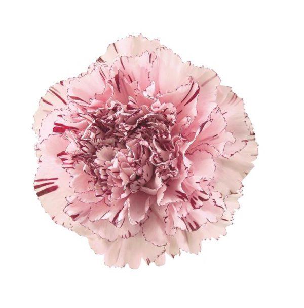 Carnation - Jogo