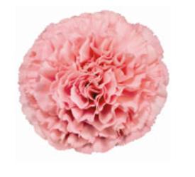 Carnation - Kaori (Pink)