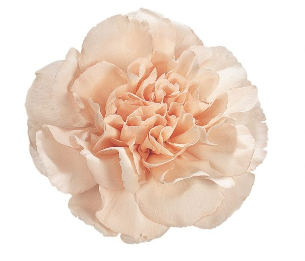 Carnation - Lizzy