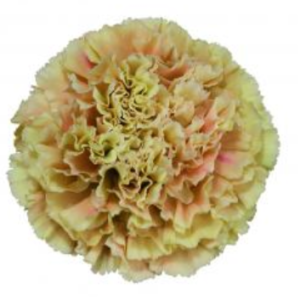 Carnation - Merletto Arancio