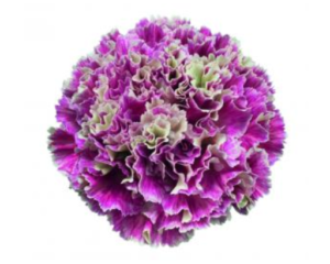 Carnation - Merletto Magenta (Dark Pink)
