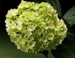 Hydrangea - Mini Green