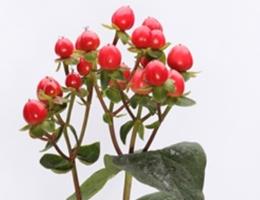 Hypericum - Coco Rio (Red)