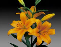Lily Asiatic - Bon Soir
