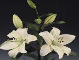 Lily Asiatic - Litouwena