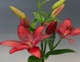 Lily Asiatic - Oportunity