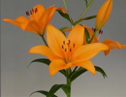 Lily Asiatic - Puma