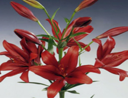 Lily Asiatic - Red Alert
