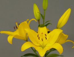 Lily Asiatic - Yellow Diamond