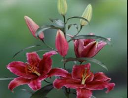 Lily Oriental - Corvana (Dark Pink)