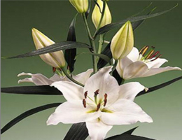 Lily Oriental