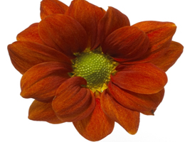 Pompon - Daisy – Golden Mangua