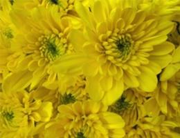 Pompons - Cushion – Zembla Yellow