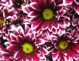 Pompons - Daisy – Orinoco