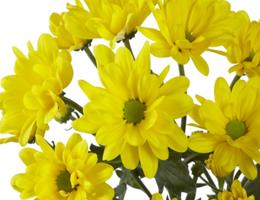 Pompons - Daisy – Radiante