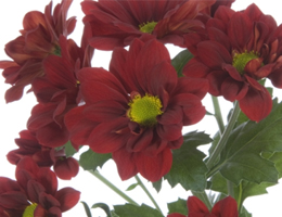 Pompons - Daisy – Red Managua