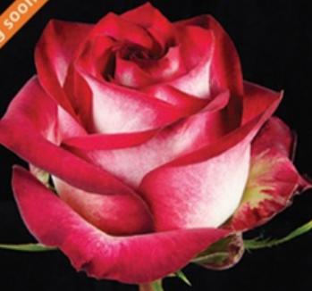 Rose - Absurda