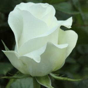 Rose - Akito