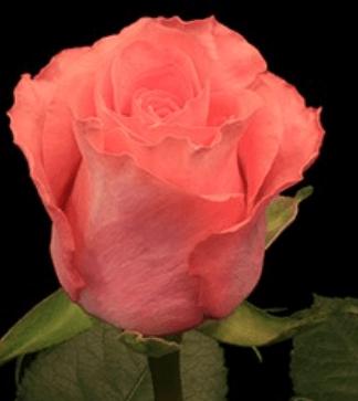 Rose - Amsterdam (Salmon)