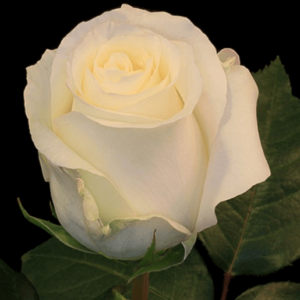Rose - Anastasia