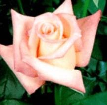 Rose - Anna