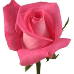 Rose - Attache (Dark Pink)