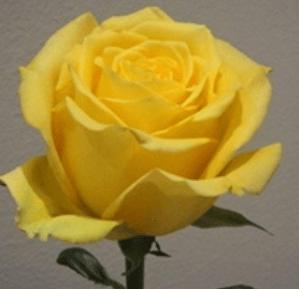 Rose - Bikini