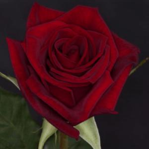 Rose - Black Magic