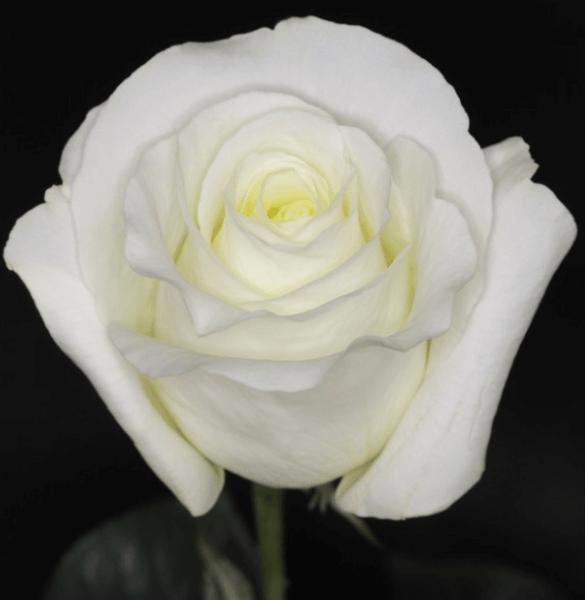 Rose - Blizzard
