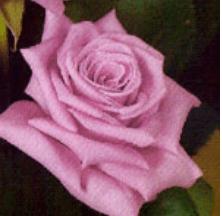 Rose - Blue Bird