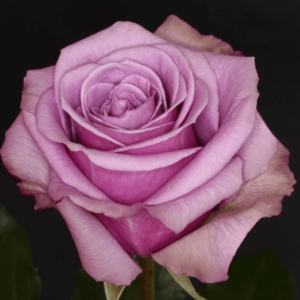 Rose - Blue Curiosa