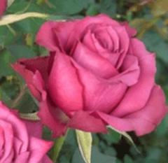 Rose - Blueberry