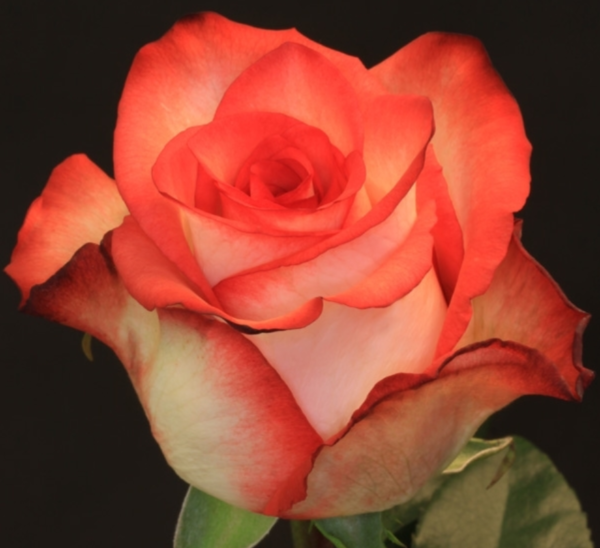 Rose - Blush