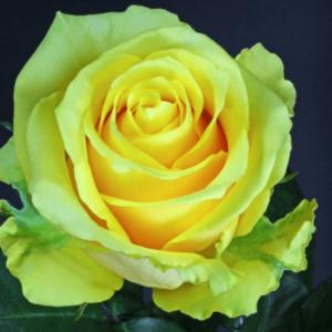Rose - Butterscotch