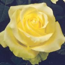 Rose - Caipirinha