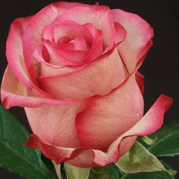 Rose - Carousel