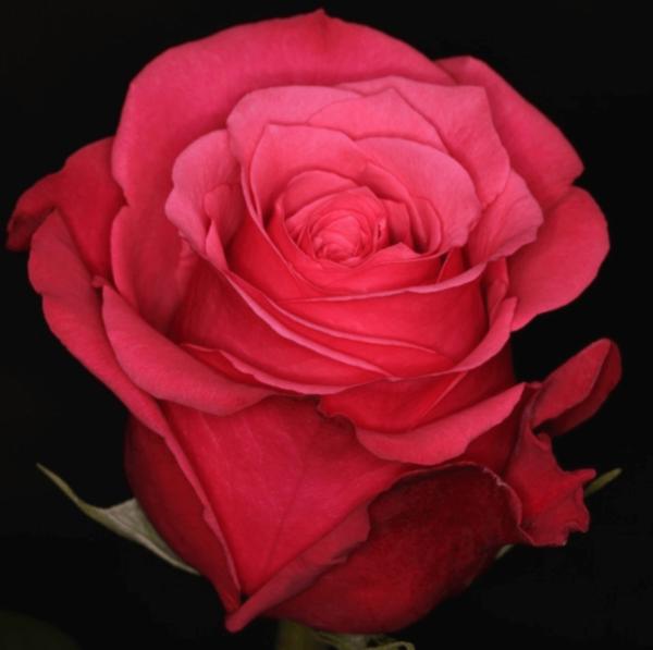 Rose - Cherry O (Dark_Pink)