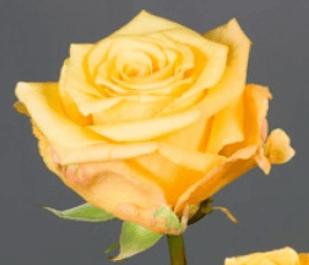 Rose - Conga