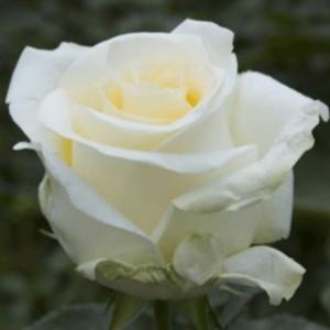 Rose - Creme de la Creme