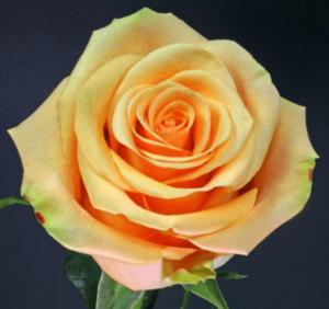 Rose - Cumbia